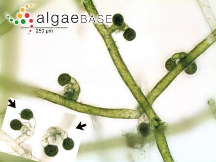 Bryopsis caespitosa Suhr ex Kützing
