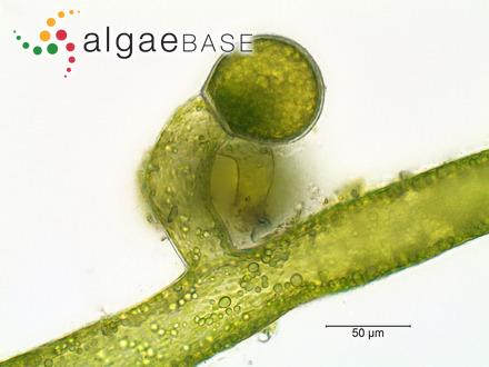 Caulerpa peltata var. macrodisca (Decaisne) Weber Bosse