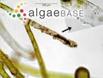 Vaucheria litorea C.Agardh