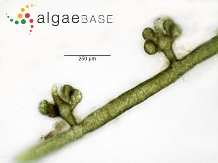 Polysiphonia apiculata Hollenberg