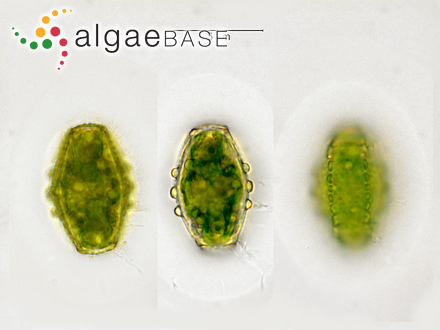 Fucus vesiculosus f. crispus Kjellman