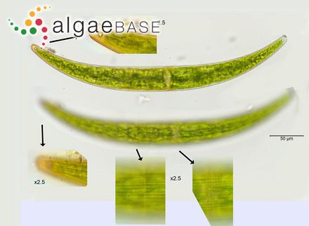 Sargassum vulgare var. tenuissimum Endlicher & Diesing