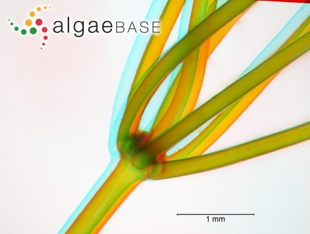 Hutchinsia elongata var. prolifera C.Agardh