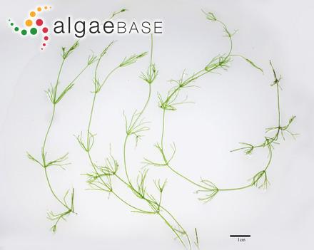 Polysiphonia violacea f. fibrillosa (C.Agardh) Rosenvinge
