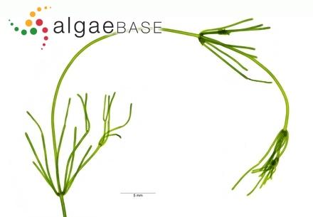 Hutchinsia aculeata C.Agardh