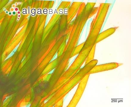 Polysiphonia violacea var. tenuissima Areschoug