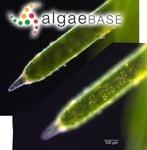 Nitella furcata subsp. mucronata (A.Braun) R.D.Wood