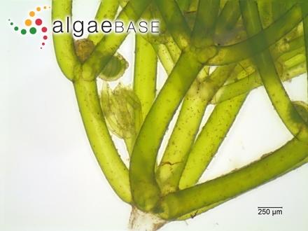 Polysiphonia nigrescens f. flaccida (Areschoug) Kylin