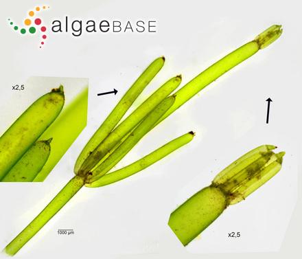 Hutchinsia nigrescens var. pectinata C.Agardh