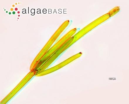 Polysiphonia nigrescens f. pectinata (C.Agardh) J.Agardh