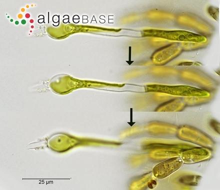 Caulerpa dichotoma Svedelius