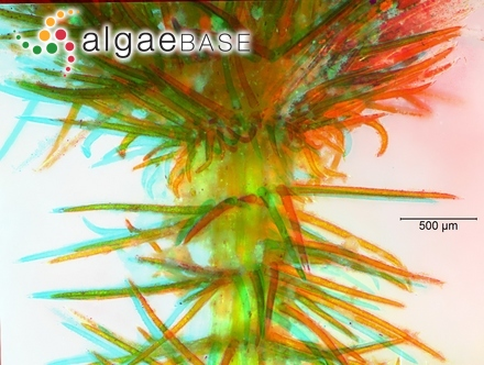 Spatoglossum macrodontum J.Agardh