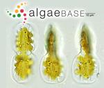 Entomoneis ornata (Bailey) Reimer