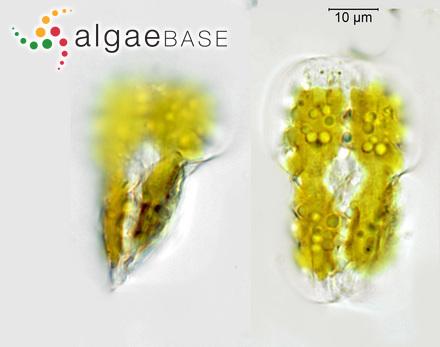 Caulerpa hypnoides var. muelleri (Sonder) Weber Bosse
