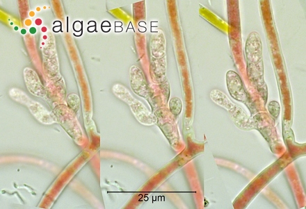 Polyopes hakalauensis (Tilden) I.A.Abbott