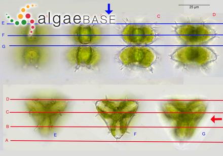 Cladophora forsskalii Kützing