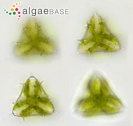 Staurastrum subavicula (West) West & G.S.West