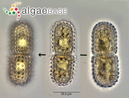 Sargassum leptophyllum Greville