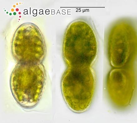 Sargassum vulgare var. latifolium Endlicher & Diesing