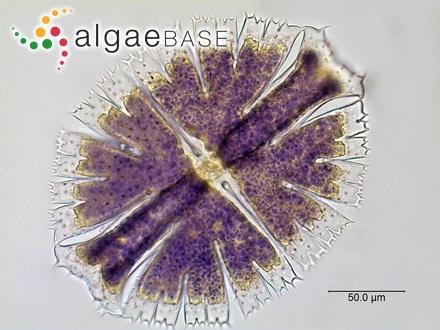 Turbinaria ornata var. serrata Jaasund