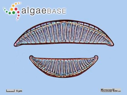 Sphondylothamnion multifidum var. pilifera (C.Agardh) Batters
