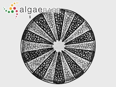 Ceramium versicolor C.Agardh