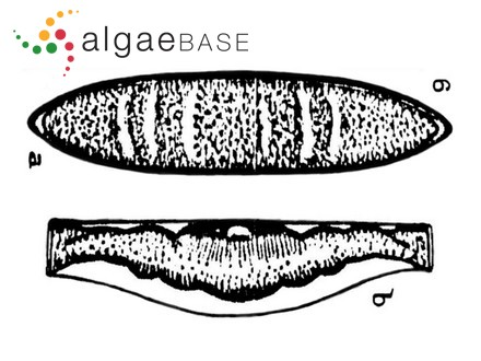 Ulvaria oxysperma f. wittrockii (Bornet) Bliding