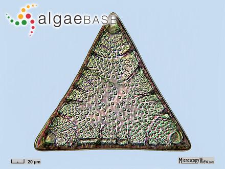 Phaeoglossum monacanthum Skottsberg