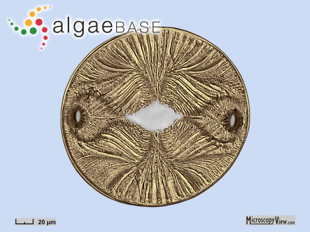 Callophyllis fastigiata (J.Agardh) J.Agardh