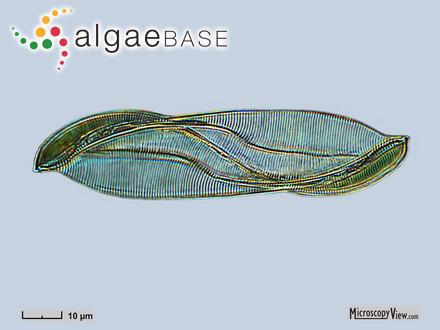 Sargassum obovatum var. robillardii Grunow