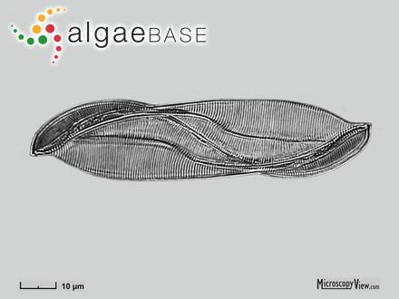 Sargassum obtusifolium var. reichelii Grunow