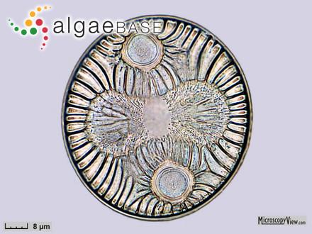 Vaucheria mayyanadensis var. sundarbanensis A.K.Islam