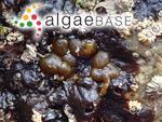 Petrospongium berkeleyi (Greville) Nägeli ex Kützing