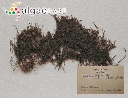 Trachelomonas cylindrica var. decollata Playfair