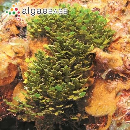 Trachelomonas elegantissima (G.S.West) Playfair