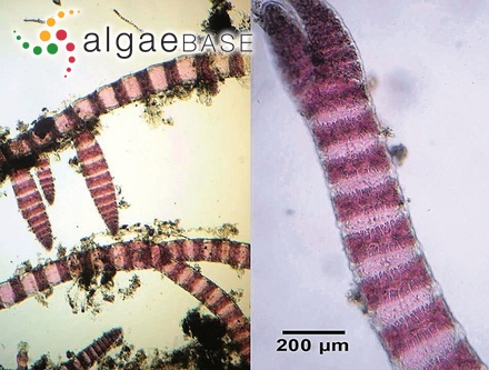 Trachelomonas eurystoma var. klebsii Playfair