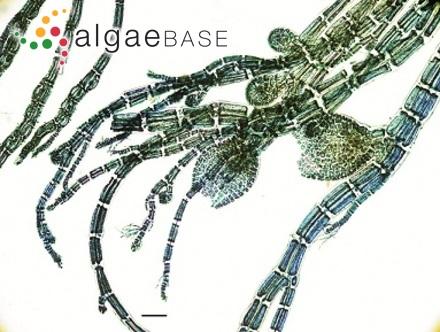 Trachelomonas granulosa var. oblonga Playfair