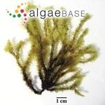 Digenea simplex (Wulfen) C.Agardh