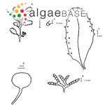 Sargassum bermudense Grunow