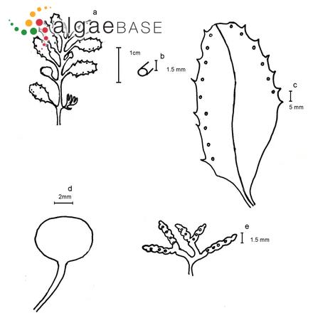 Trachelomonas hesperia Playfair