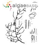 Sargassum natans (Linnaeus) Gaillon