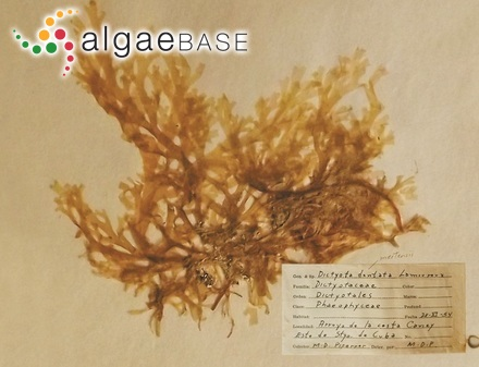Trachelomonas megalacantha var. crenulatocollis Bourrelly