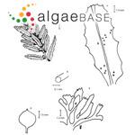 Sargassum hystrix J.Agardh