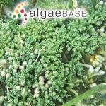 Caulerpa racemosa f. microphysa Weber Bosse