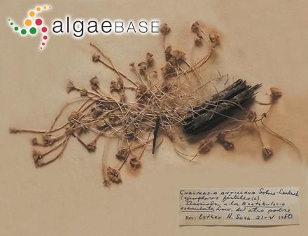 Trachelomonas pusilla var. punctata Playfair