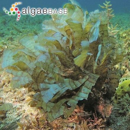 Trachelomonas regularis (Lemmermann) Deflandre