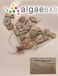 Acetabularia crenulata J.V.Lamouroux