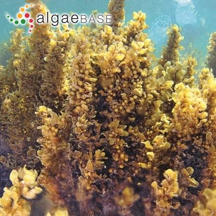 Trachelomonas scabra var. labiata (Teiling) Huber-Pestalozzi