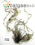 Gracilariopsis tenuifrons (C.J.Bird & E.C.Oliveira) Fredericq & Hommersand