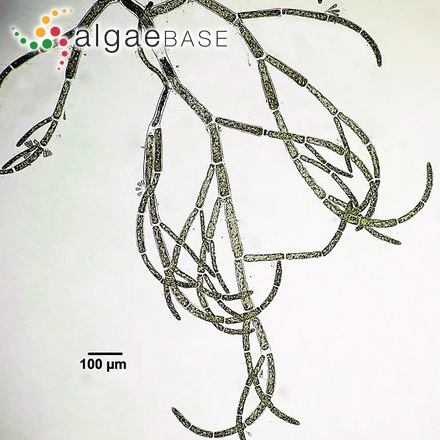 Trachelomonas volzii var. cylindracea Playfair